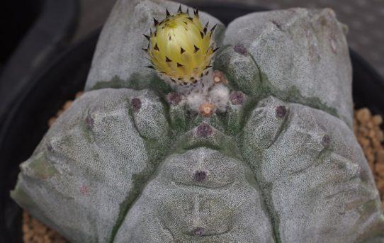 亀甲鸞鳳玉