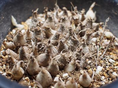 シマツルボ(縞蔓穂)
