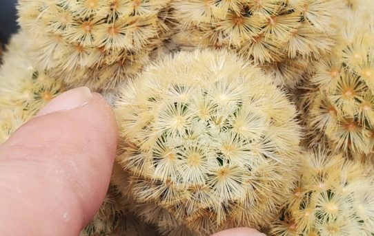 黄刺カルメナエ